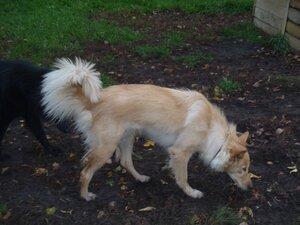 Золотая собака мечтает о хозяине