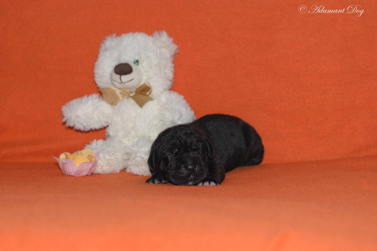 Продаются щенки в питомнике Олрей. Москва. 0_e66cd_f78c8305_XXXL