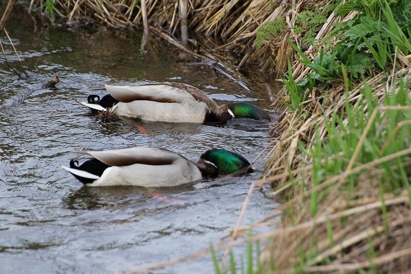 пара селезней собирает пищу под водой у крутого бережка небольшой речки