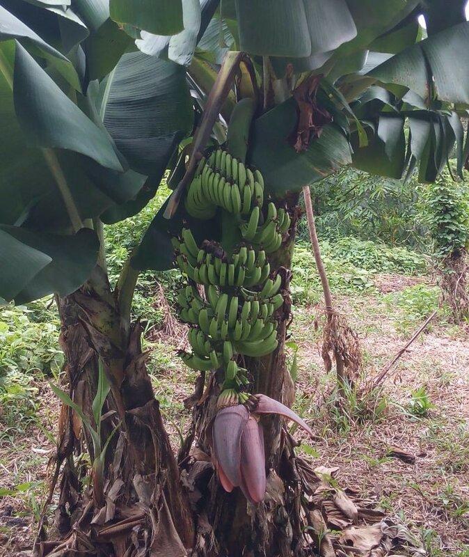 фото Ко Мук бананы