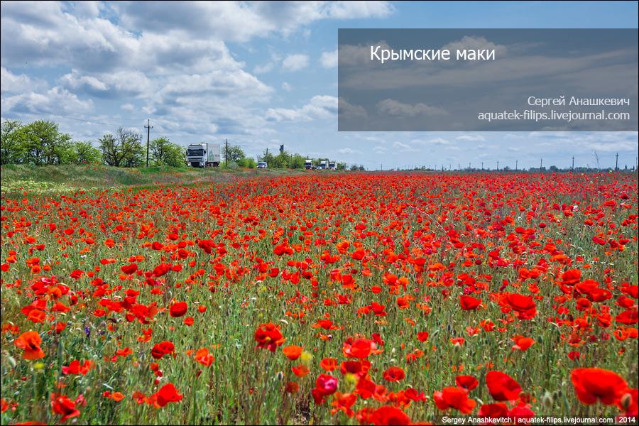 Крымские маки