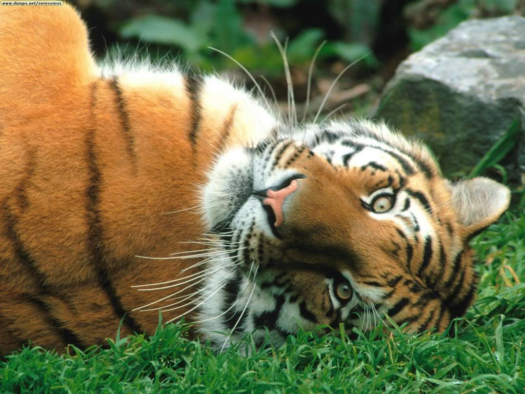 Sleepy siberian tiger