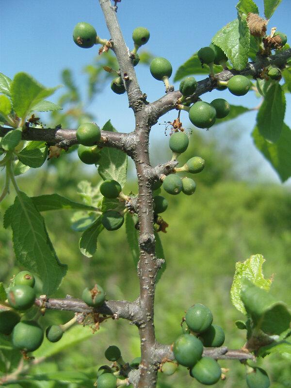 созревающие плоды (?) неведомого мне растения на Кубани на месте привала №2