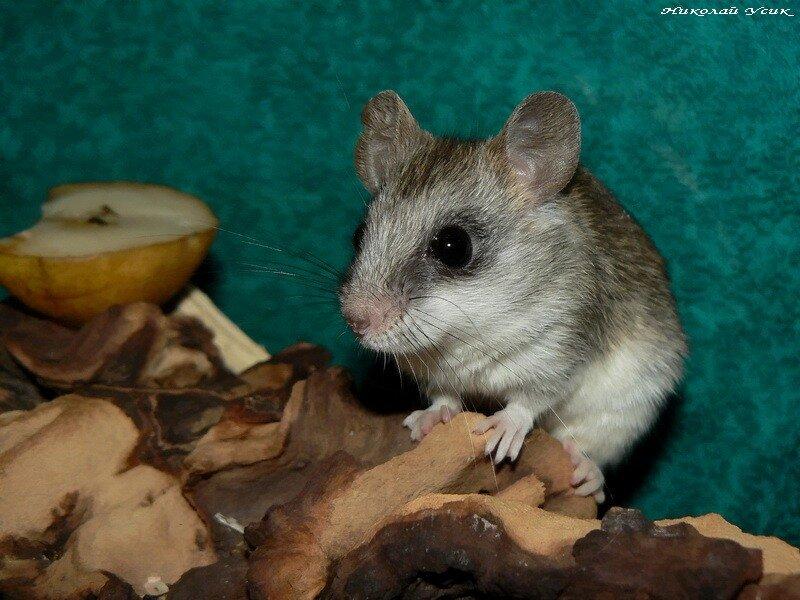 Акациевая крыса (Thallomys sp.)