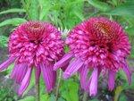 Echinacea Secret Affair (1).JPG