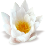 NLD Water Lily sh.png