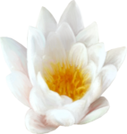 NLD Water Lily.png
