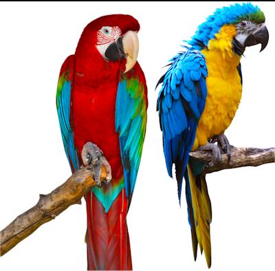 parrots (1).png