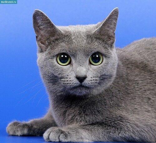Порода кота азиатская
