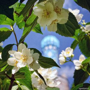 Жасмин у мечети (жасмин, Соборная мечеть, цветок)