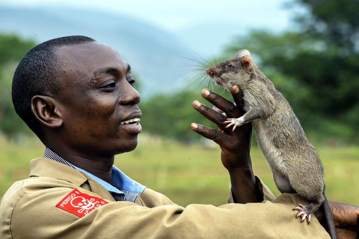 Гамбийские крысы, как лучшие саперы и вынюхиватели противопехотных мин (14)