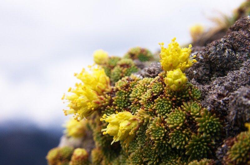 Камнеломка твердоногая (Saxifraga scleropoda)