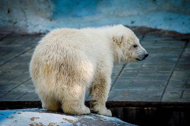 Zoo Novosibirsk.  Ainda não chamado Urso
