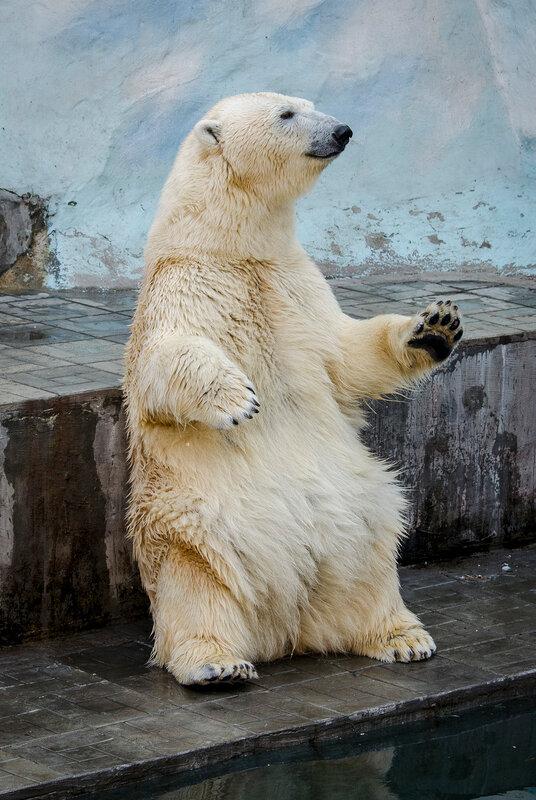 Zoo Novosibirsk.  Ídolo do público - Gerda