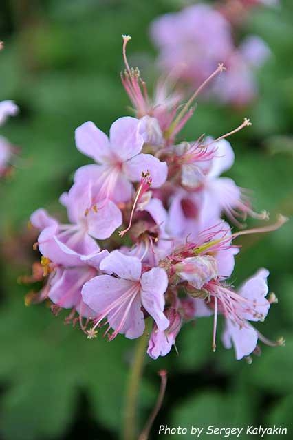 Geranium macrorrhizum Ingwersen (3).JPG