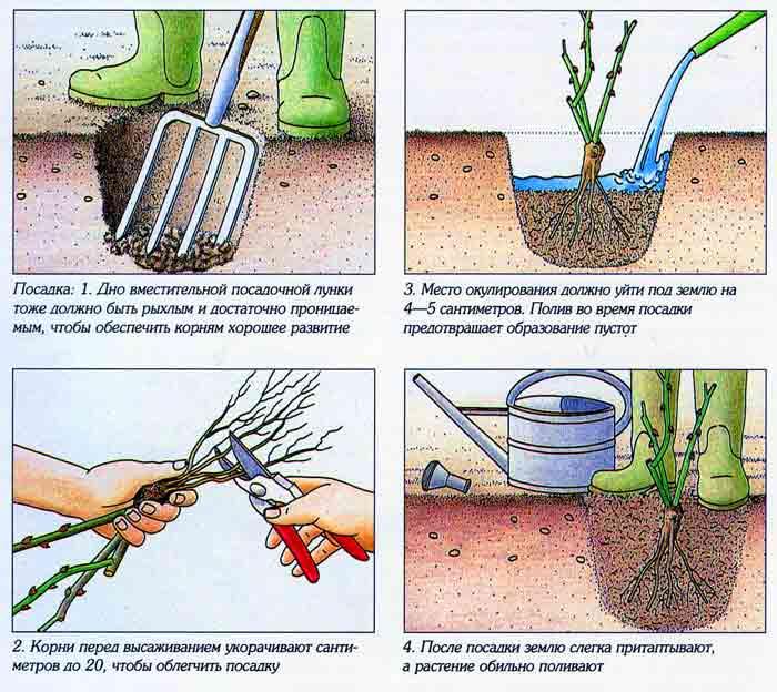 Как правильно посадить розу черенком в домашних условиях