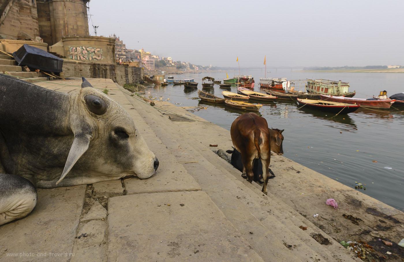 Фото 15. Повсюду в Варанаси можно встретить бродящих или отдыхающих быков, которых здесь никто не трогает, ведь они – потомки быка Нади, на котором ездил сам великий бог Шива.  Отчеты туристов о путешествии по Индии. 1/250, 8.0, 200, 24.