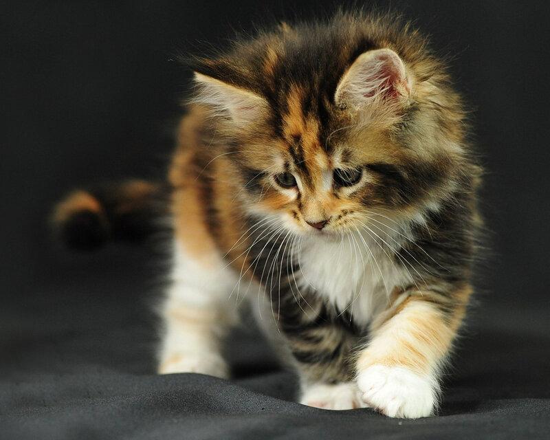 """Оригинал схемы вышивки  """"котенок """" ."""