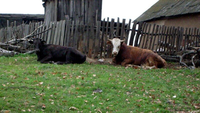 Коровки.