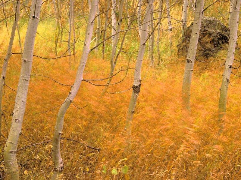 Лес осенью. желтая трава и березы.  Дата: 19 Июль 2011 Теги: Добавил: Axel.