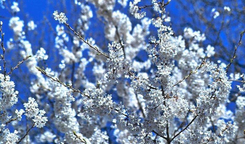 Абрикосы отцвели, А теперь вишни, Только им я и весне- Третий лишний Их цветенье - не мое, Сердце просит...