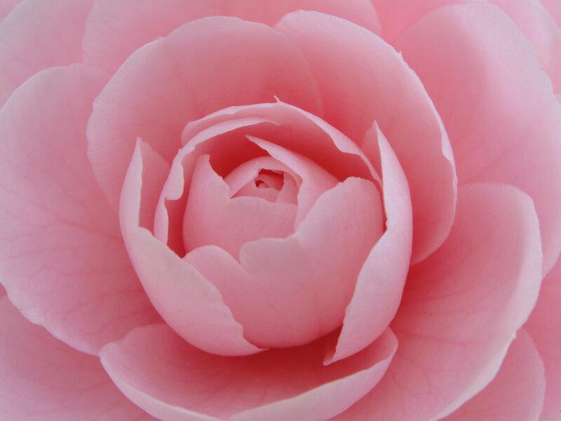 Камелия, Япония, восковый цветок, нежность, поэзия