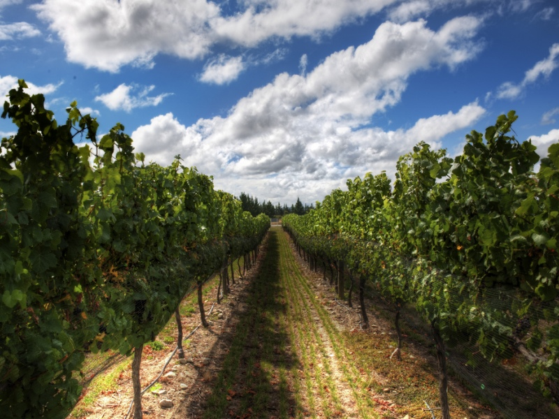 виноградарство в беларуси