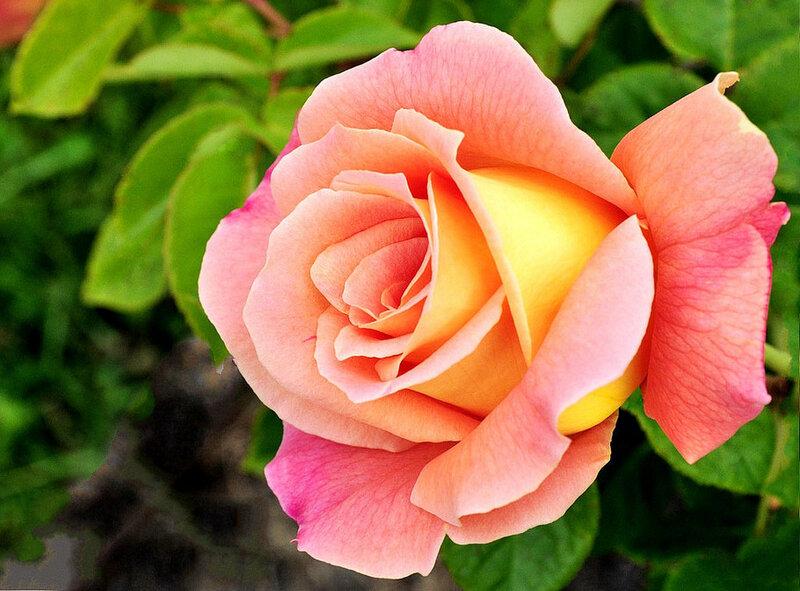 Роза из фомы