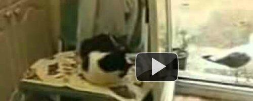 Наглая чайка, кот в шоке