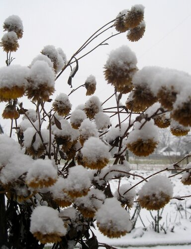 Снег на хризантемах