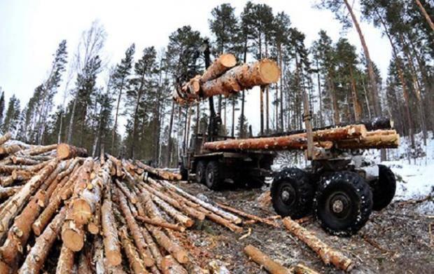 В Киевской области вырубают леса, местные жители планируют защищать столетние сосны силой (видео)
