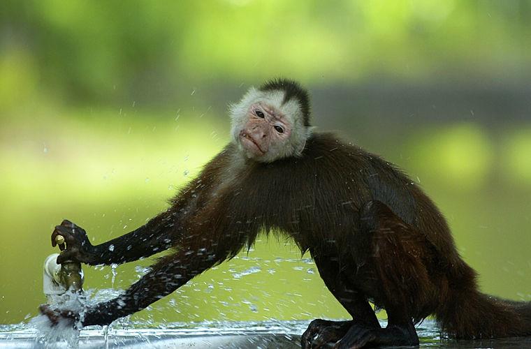 Полагать, что обезьяны — очаровательные милашки Коста-Рика — страна обезьян. Хвостатые р