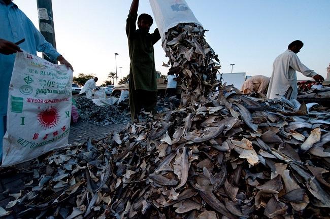 Это еще один из ведущих мировых экспортеров акульего мяса.