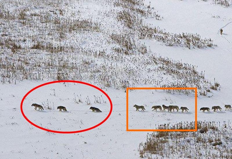 Следом идет группа из пяти самых сильных волков, а за ними остальная стая. Замыкает колонну еще одна