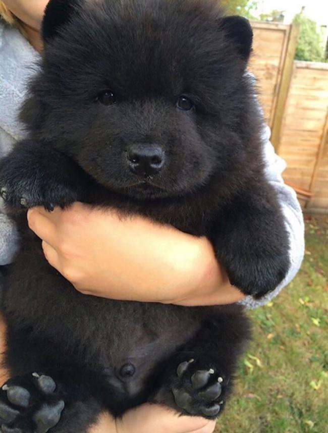Этот щенок, больше похожий намедвежонка, должен быть благодарен родителям (чау-чау ишпицу) затаку