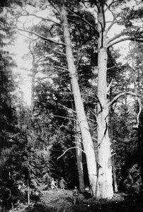 Лес на острове Коневец.