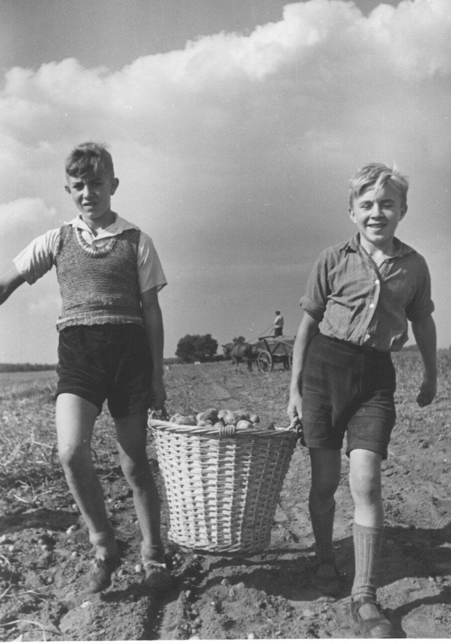 Мальчики помогают взрослым собирать урожай картофеля