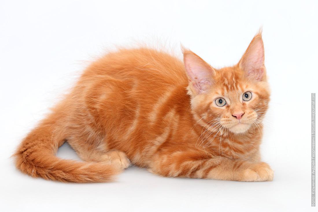 красный котенок мейнкун цена