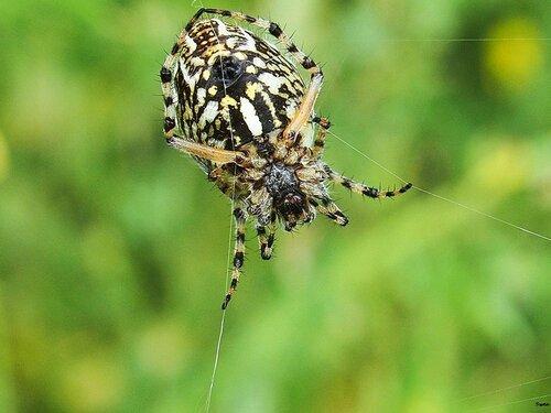Акулепейра,паук дубовый