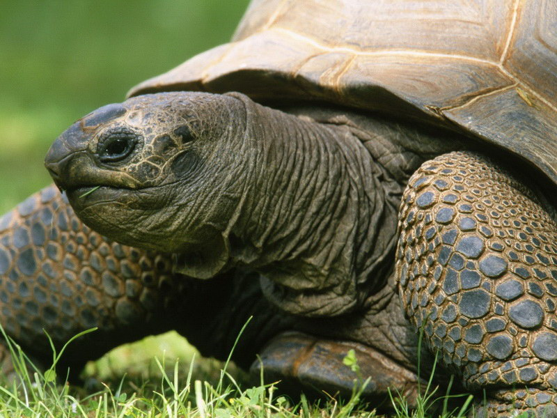 Величезна черепаха