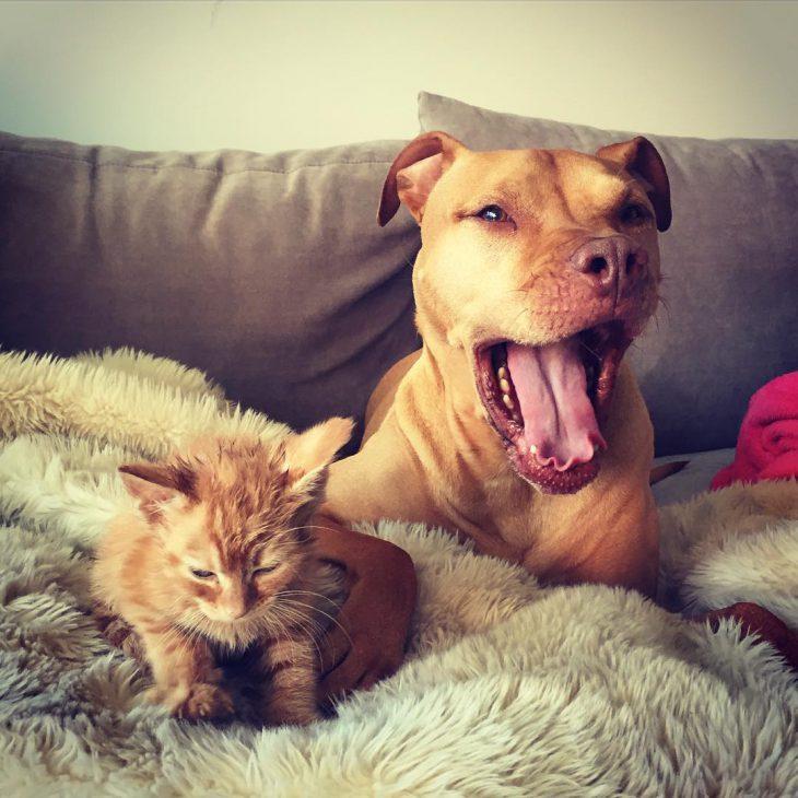 питбуль принял котенка как родного
