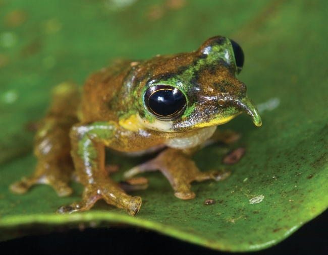Когда самец лягушки находится впоисках самки или чувствует опасность, его вытянутый нос, напоминающ