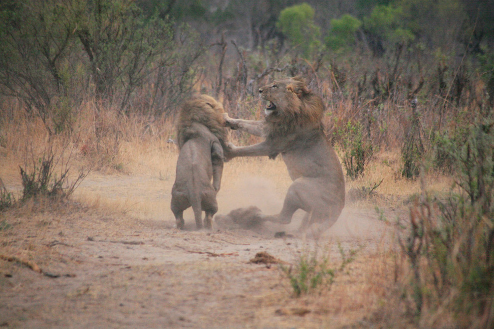 Сначала Палмер ранил льва стрелой из композитного лука, затем преследовал раненого зверя и прим