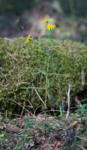 Ястребинка зонтичная (Hieracium umbellatum) Автор: Владимир Брюхов