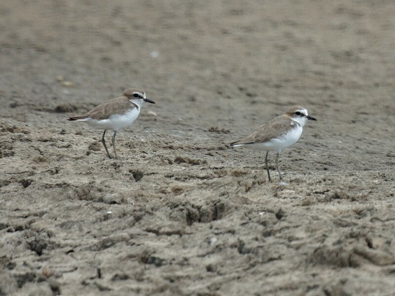 Red-capped plover, female