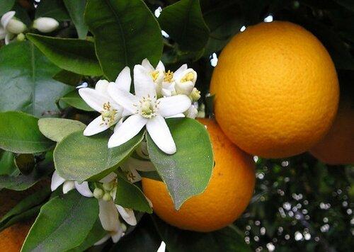 Миру грозит нехватка апельсинов, сообщают в США