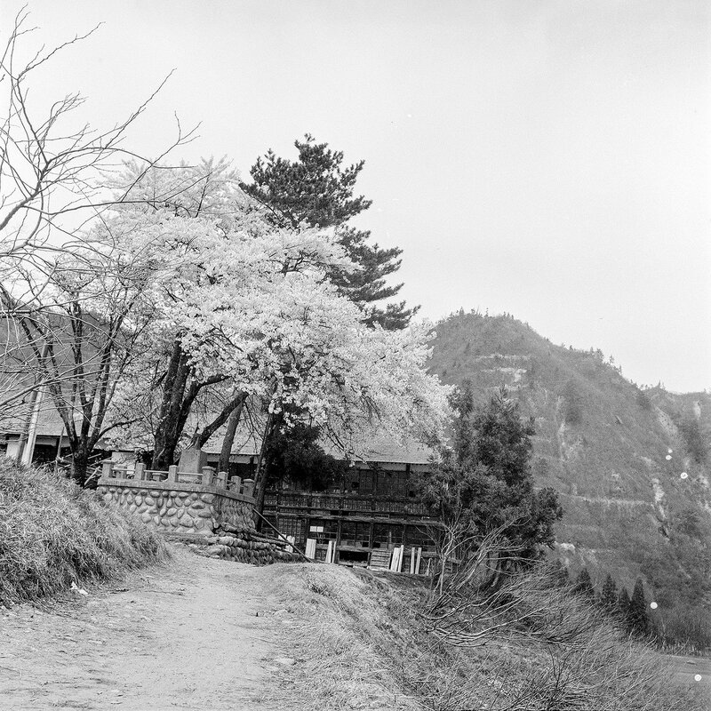 Cherry Blossoms & Old Wooden Building - 1950s Japan