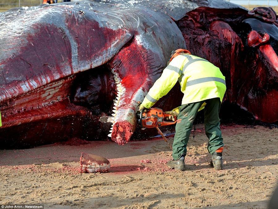 3. Морские биологи проводят вскрытие туши одного из кашалотов, вынесенных волнами на побережье в Скг