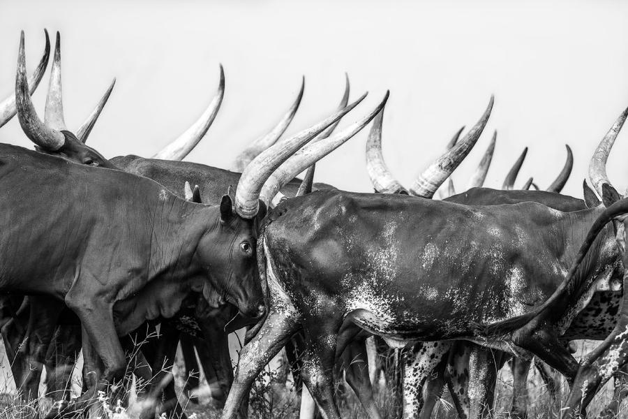 4. Стадо быков в Уганде. Ватусси — порода крупного рогатого скота, выведенная в Африке. Как и многие