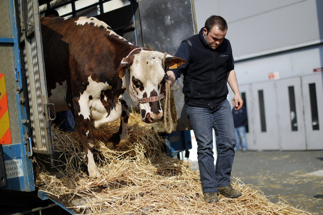 A French farmer leads his cow on the eve of the opening of the International Agricultural Show in Pa